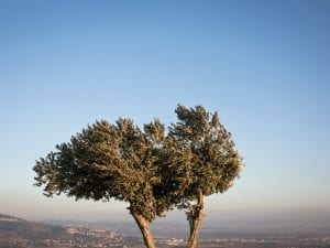 Rafaela Schoffman, <i>Two branches of one olive tree</i>, Nazareth, Israel, 2016.