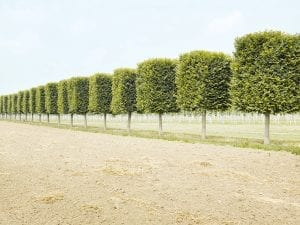 Henrik Spohler, <I>THE THIRD DAY</I>. Tree nursery, rows of clipped trees, northern Germany.